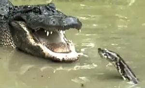 Alligator Versus Burmese Python!