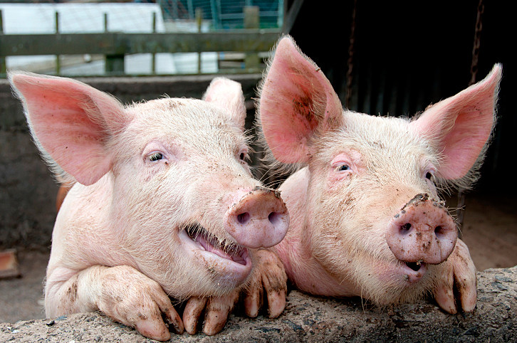 Stoned Pigs