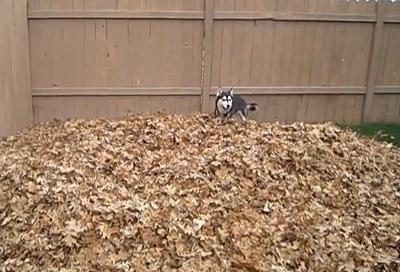 husky in leafs