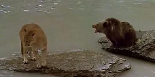 Cougar -v- Cub