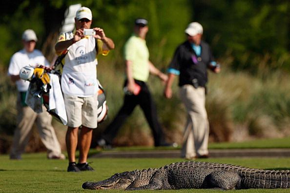alligator photographer gets very close to alligators